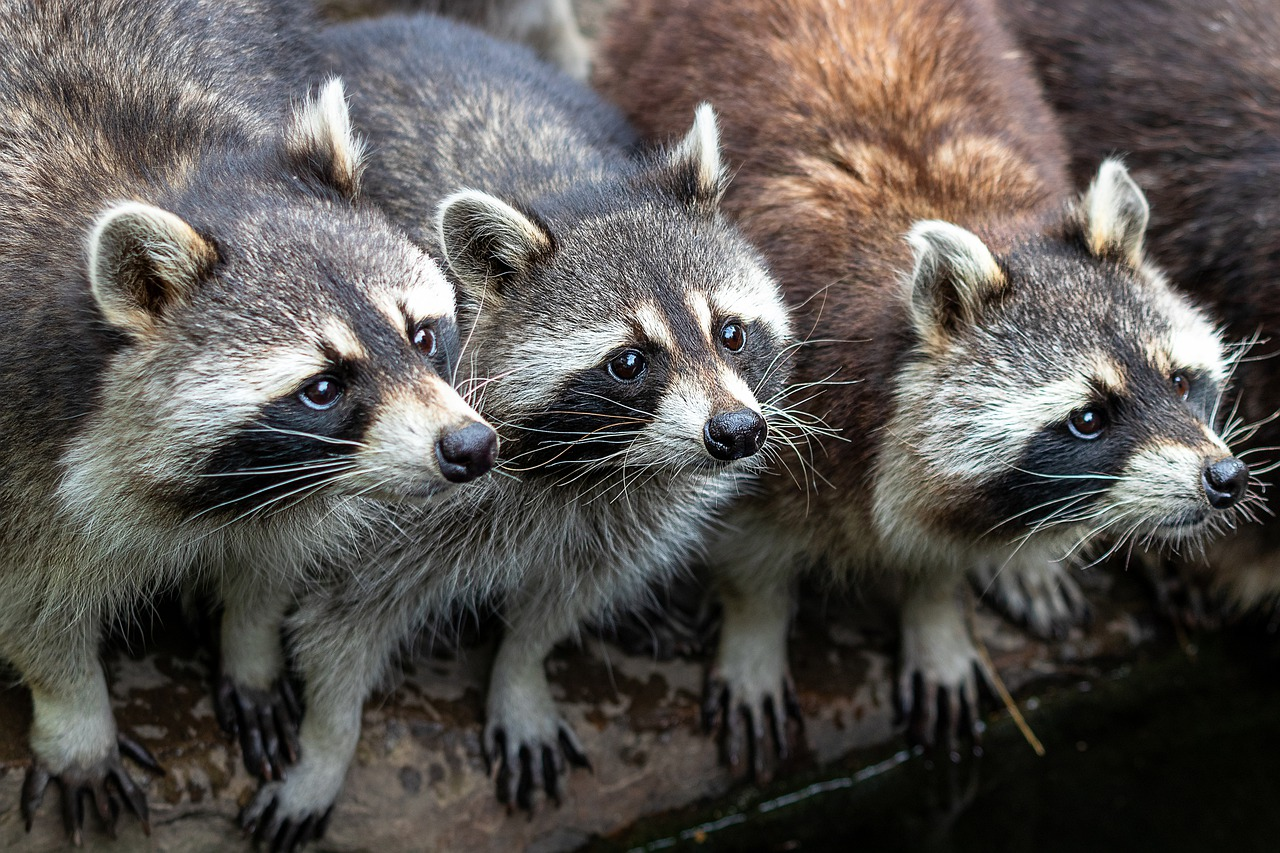 Picture of hungry raccoons waiting for food