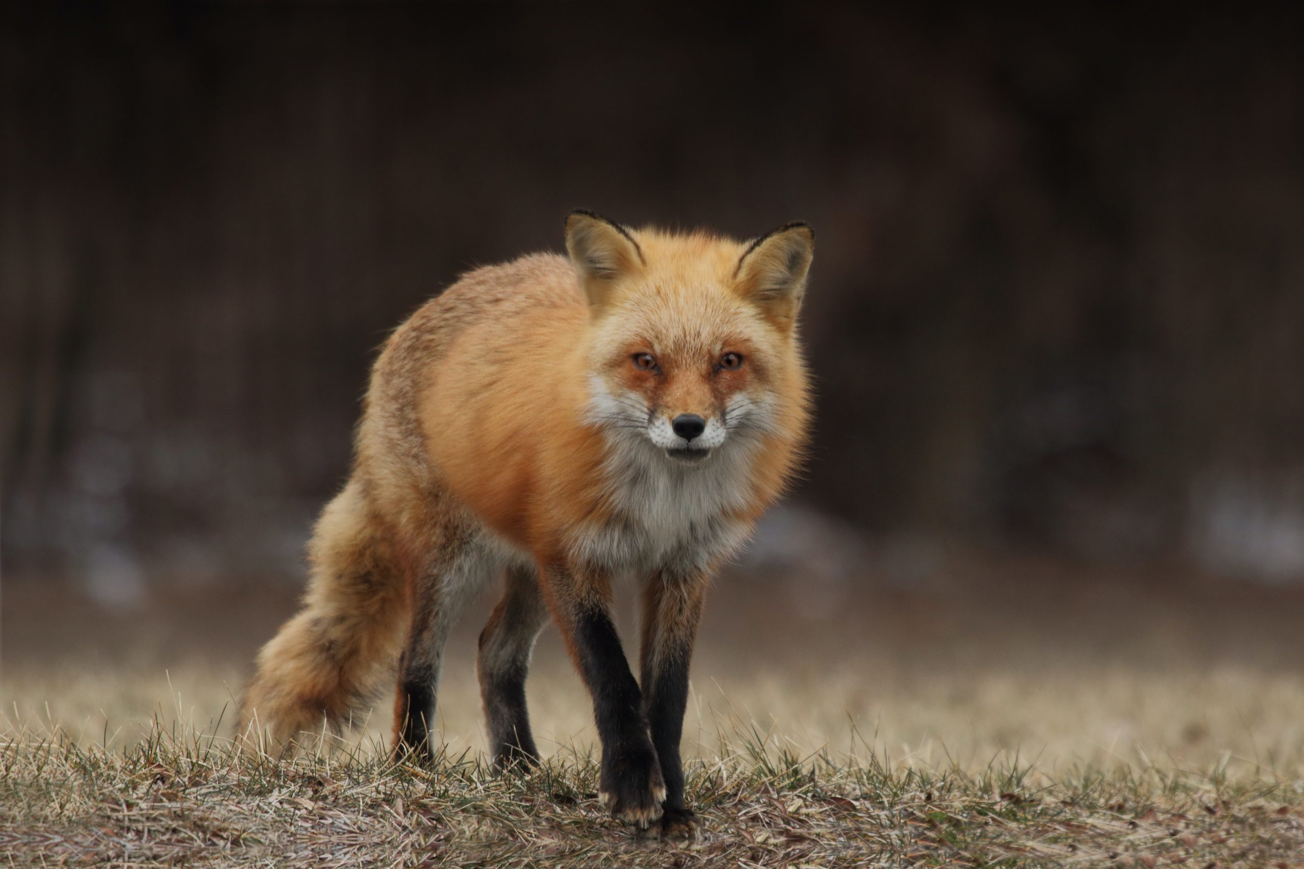 Picture of red fox stalking prey