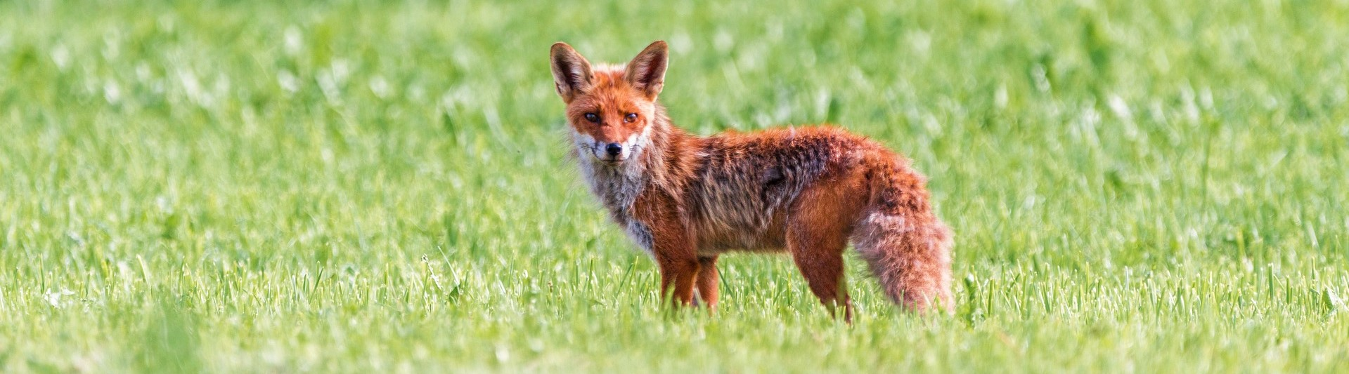 Photograph of a red fox