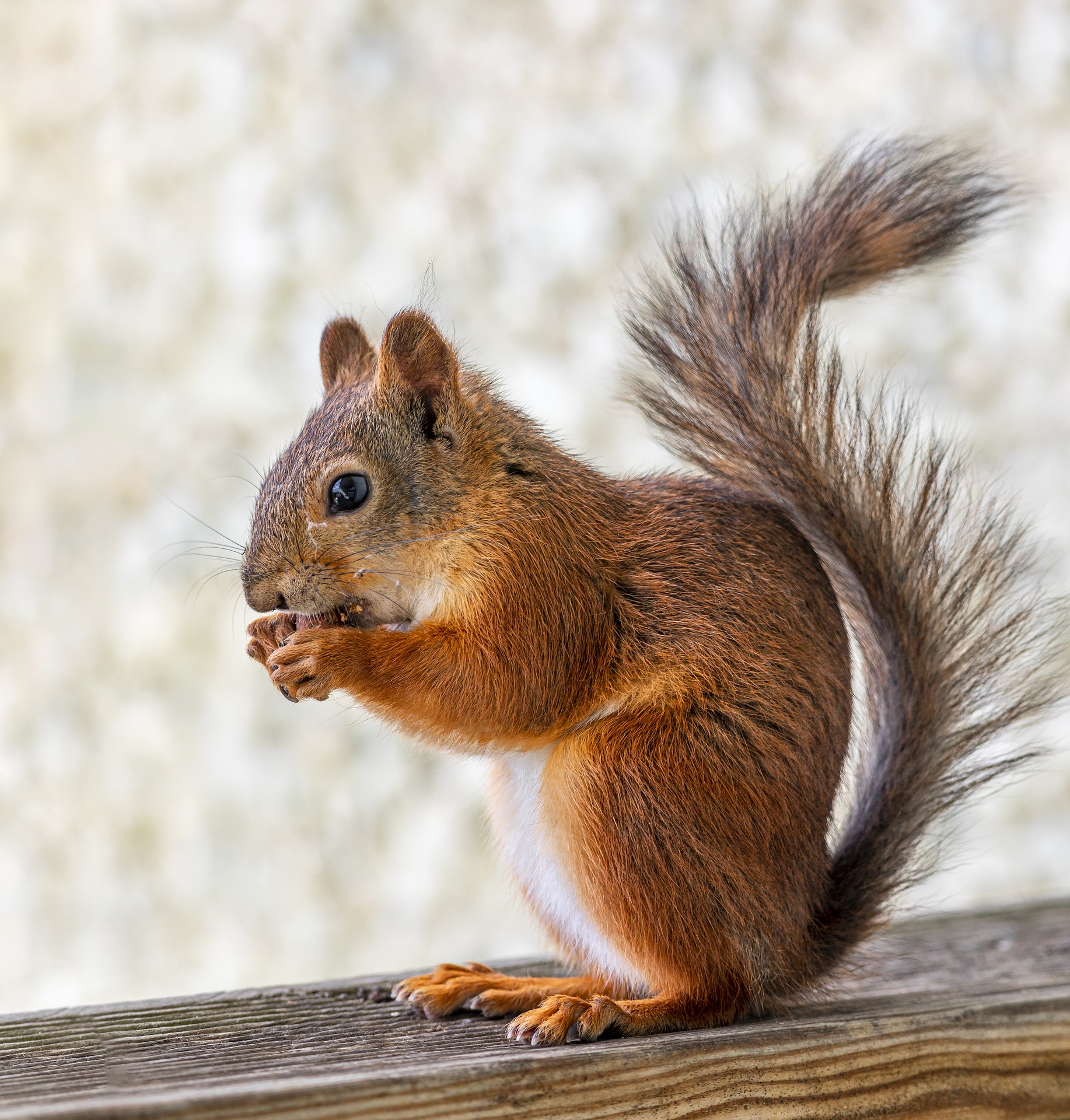 Picture of a red squirrel eating nuts