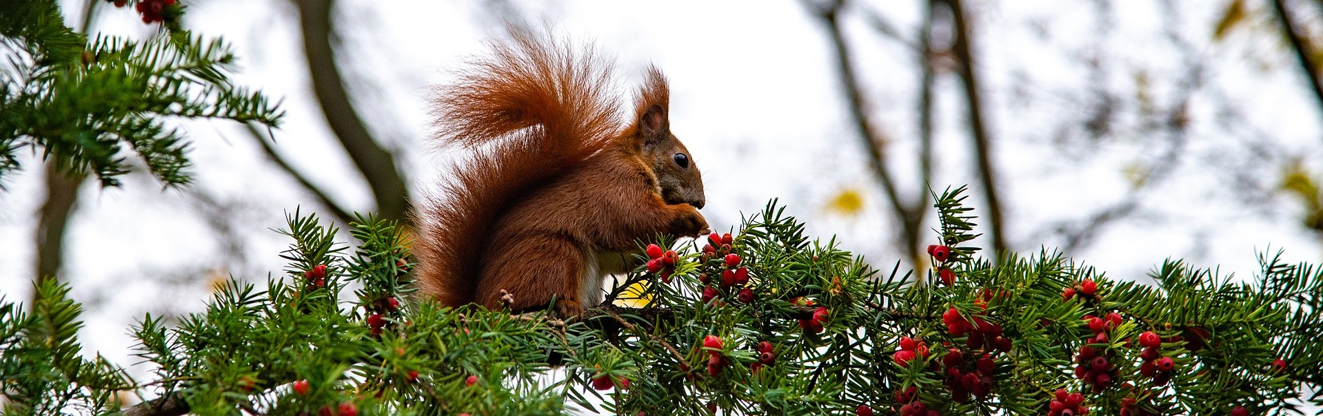 Image of red squirrel on tree branch