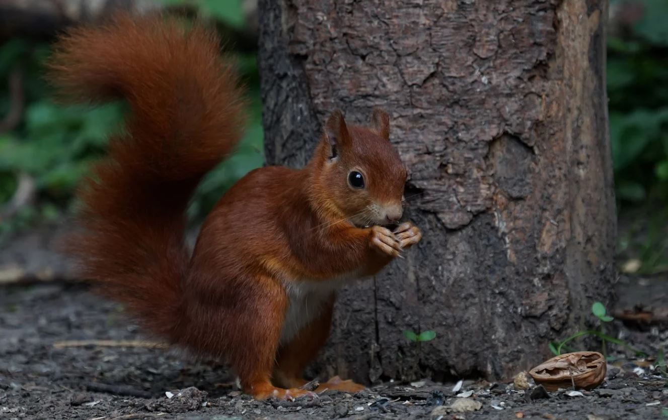 Photograph of red squirrel in forest