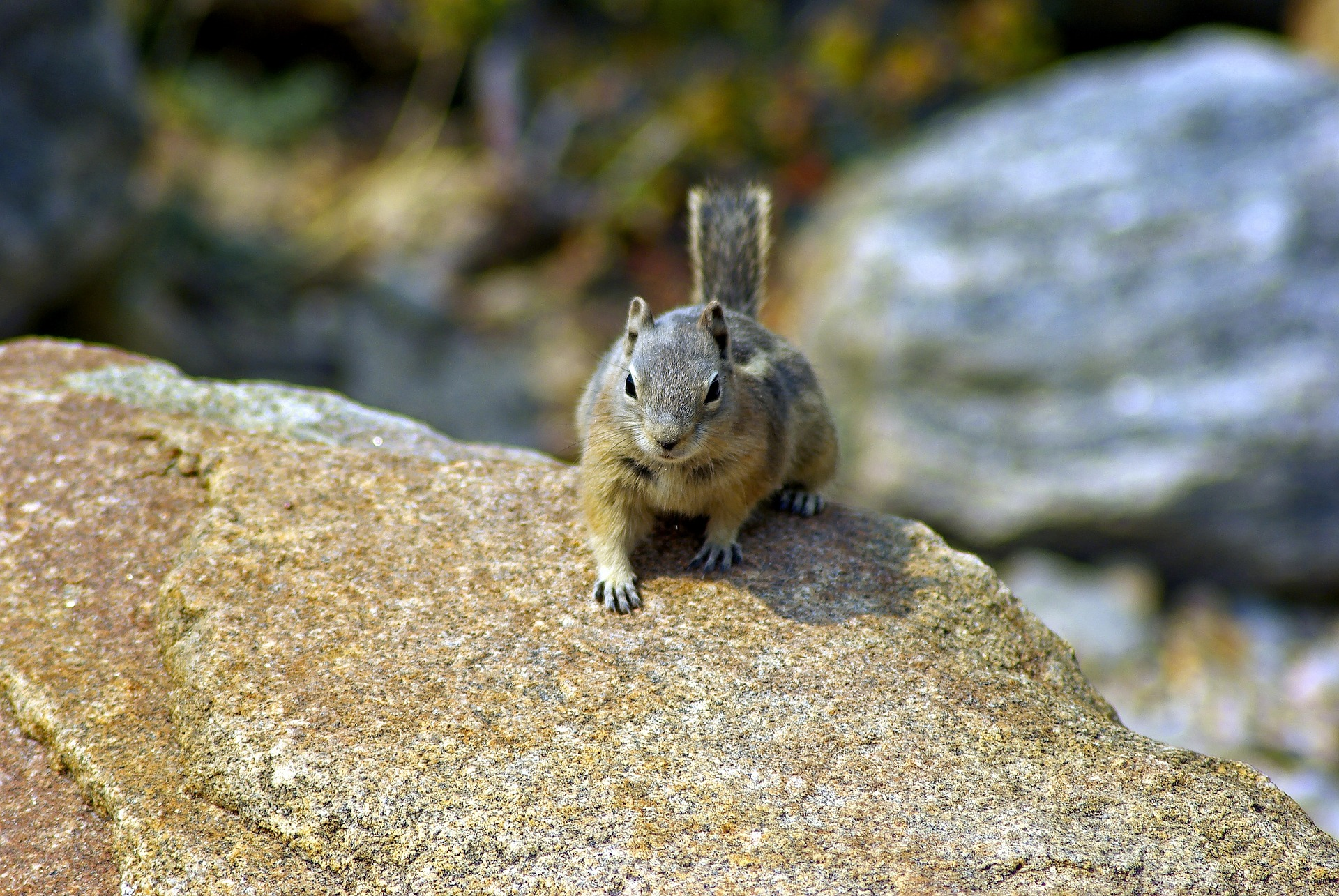 Picture of roaring river ground squirrel
