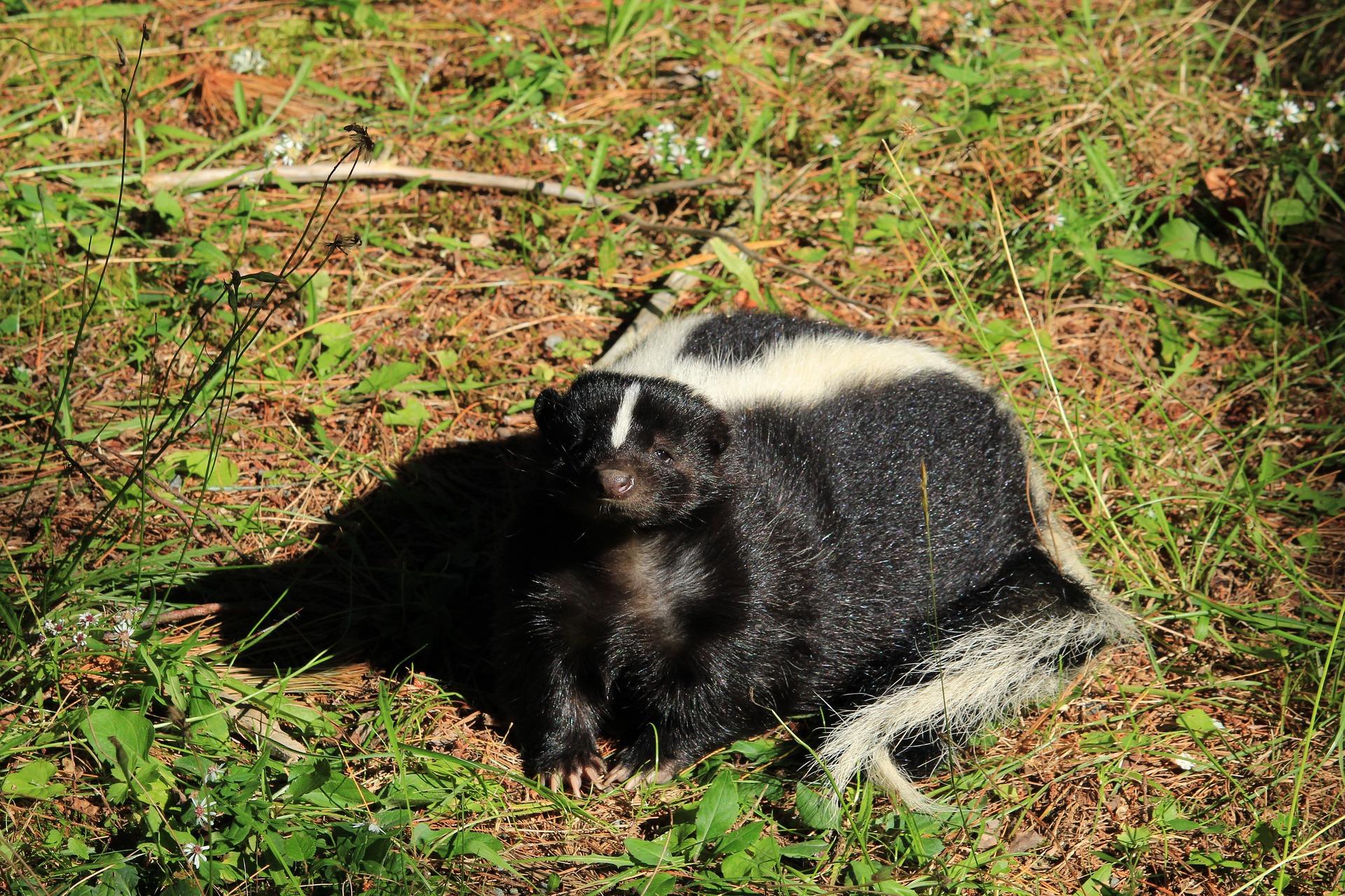 Image of skunk resting in backyard