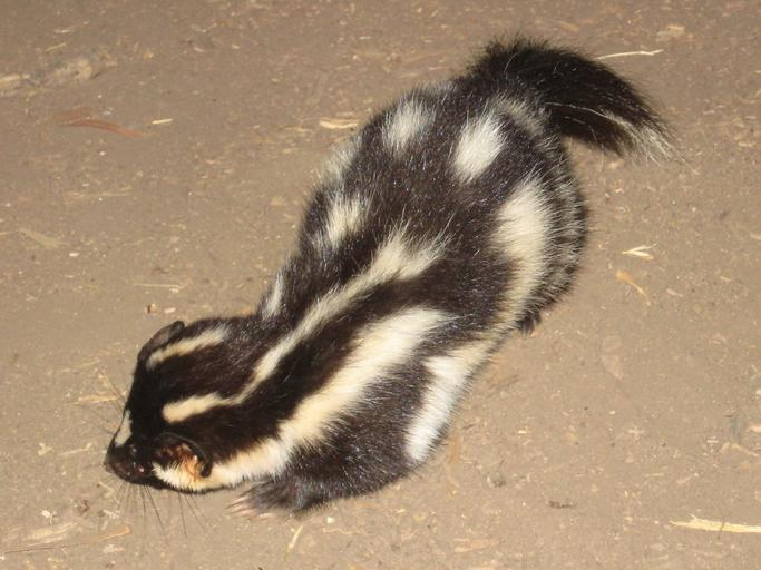Image of a spotted skunk in the United States