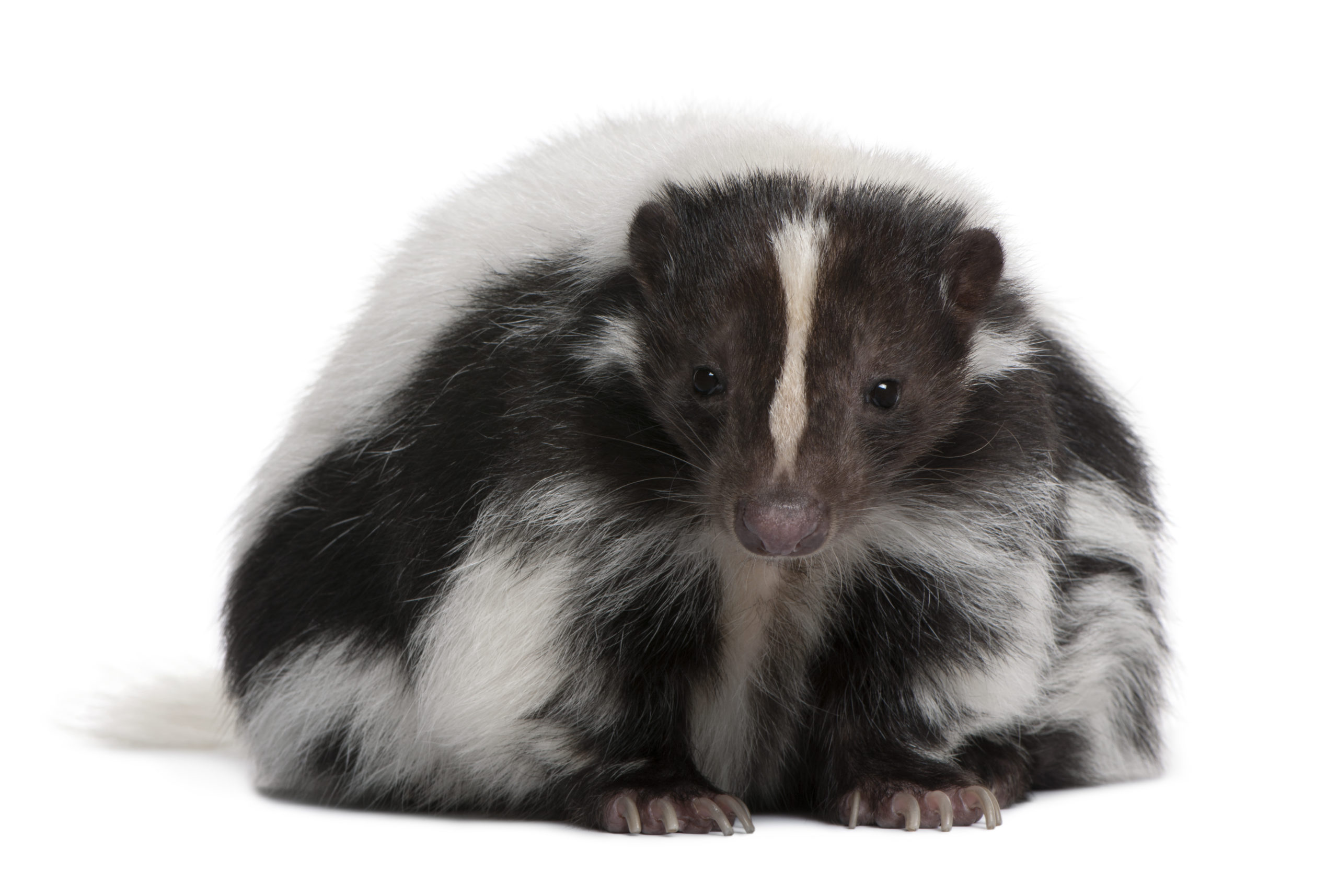 Photo of a striped black and white skunk