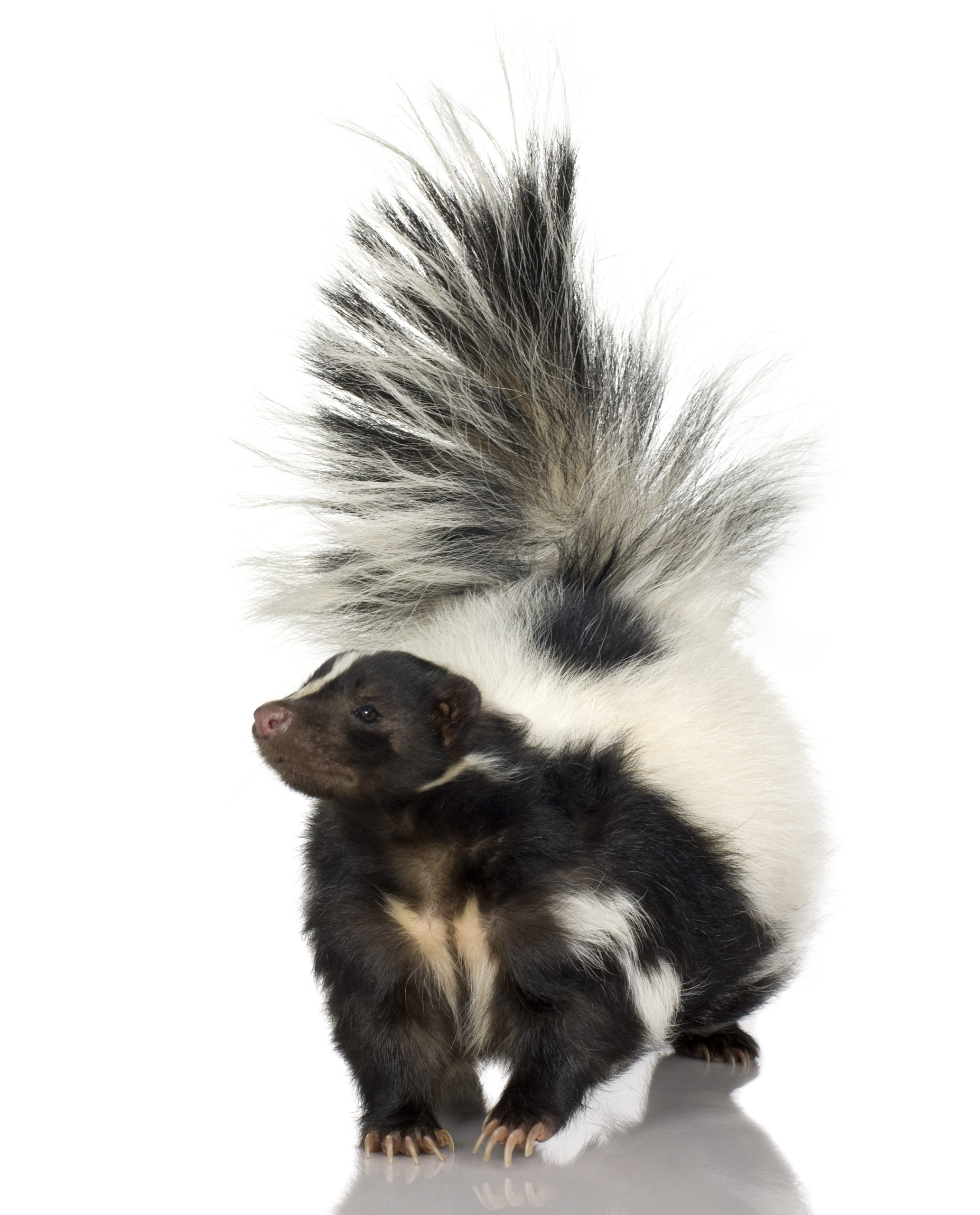 Photograph of a striped skunk