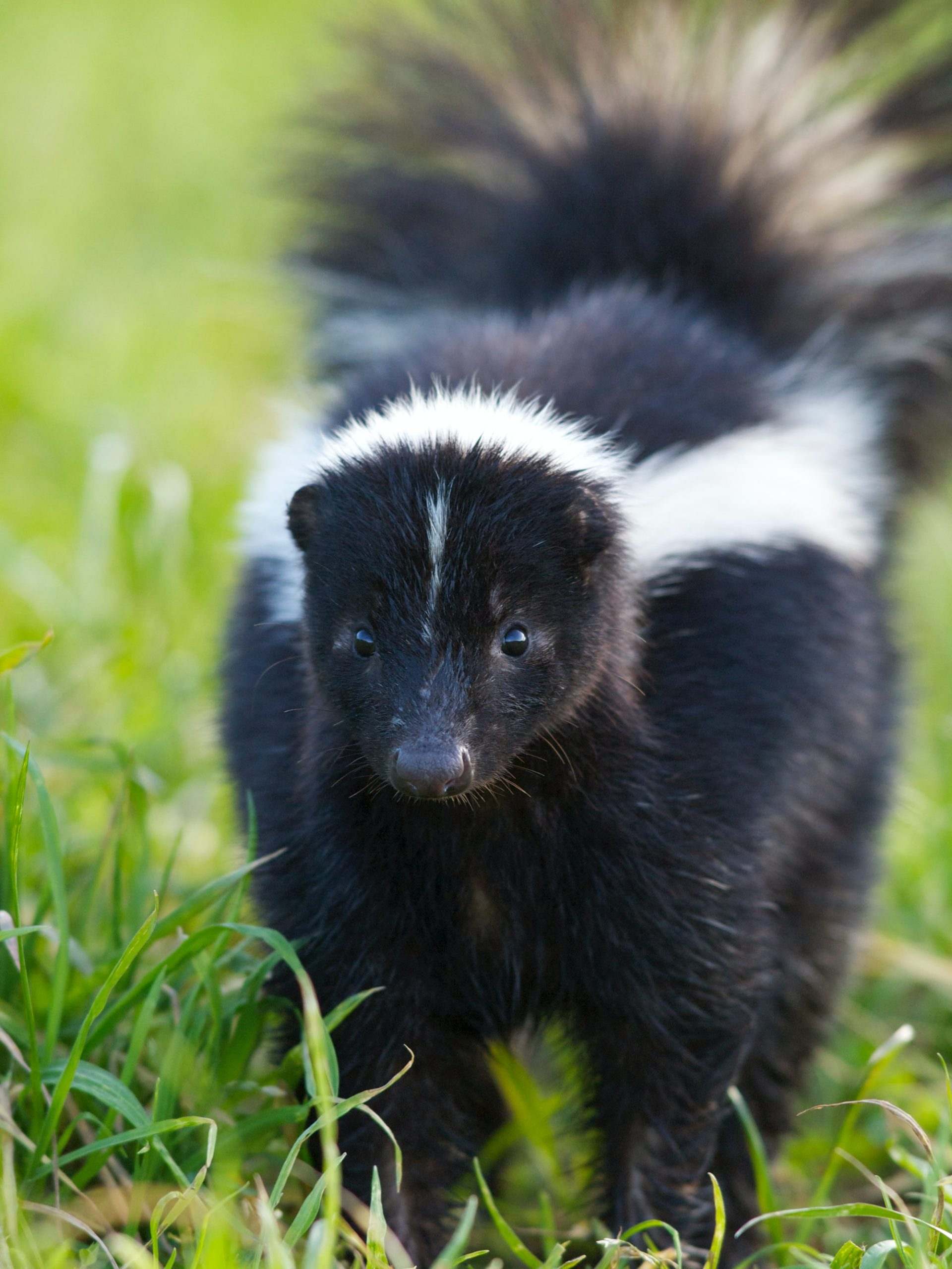 Photo of a skunk walking