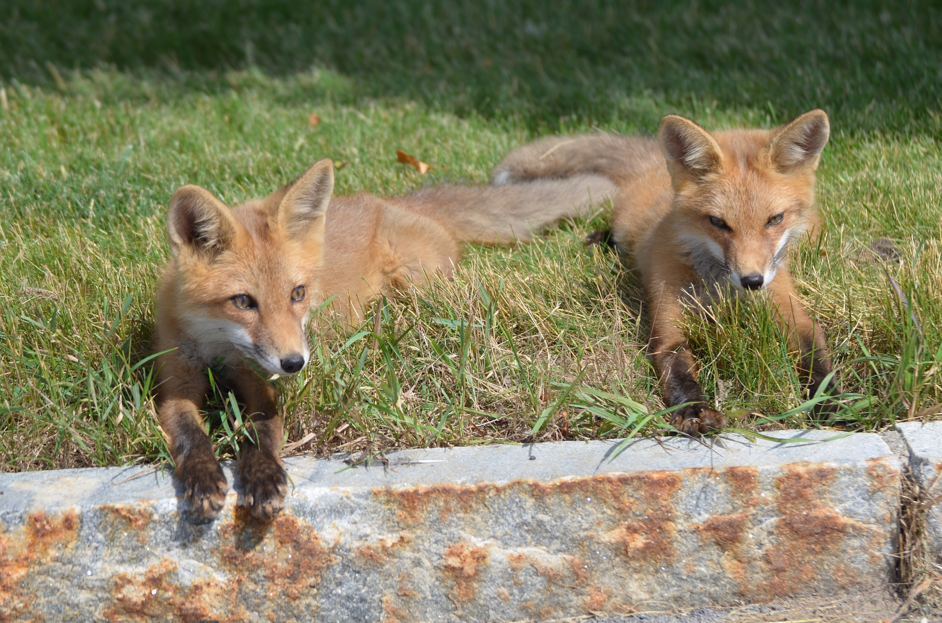Image of two kit foxes resting