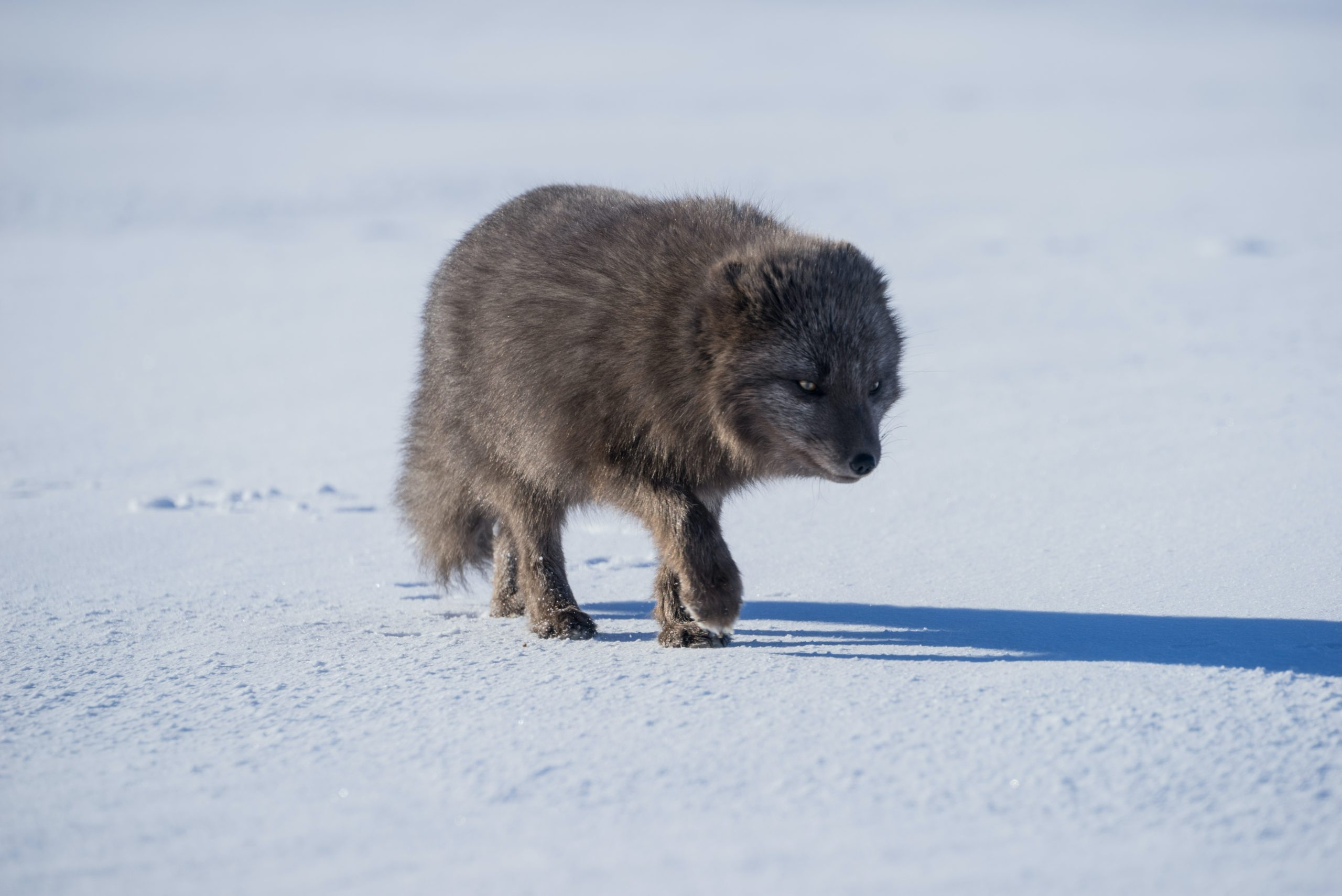 Image of a gray artic fox tracking prey