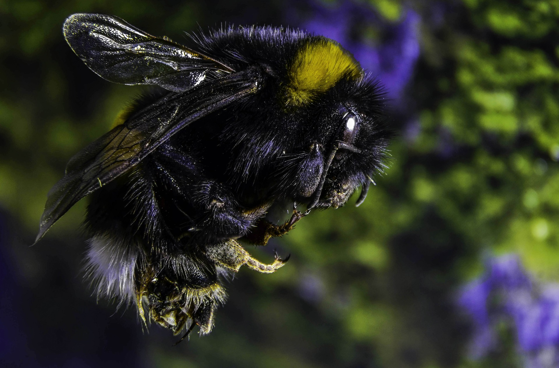 Image of black colored bumble bee flying