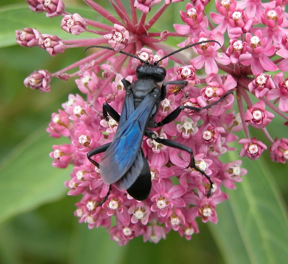 Picture of blue winged mud dauber on a flower