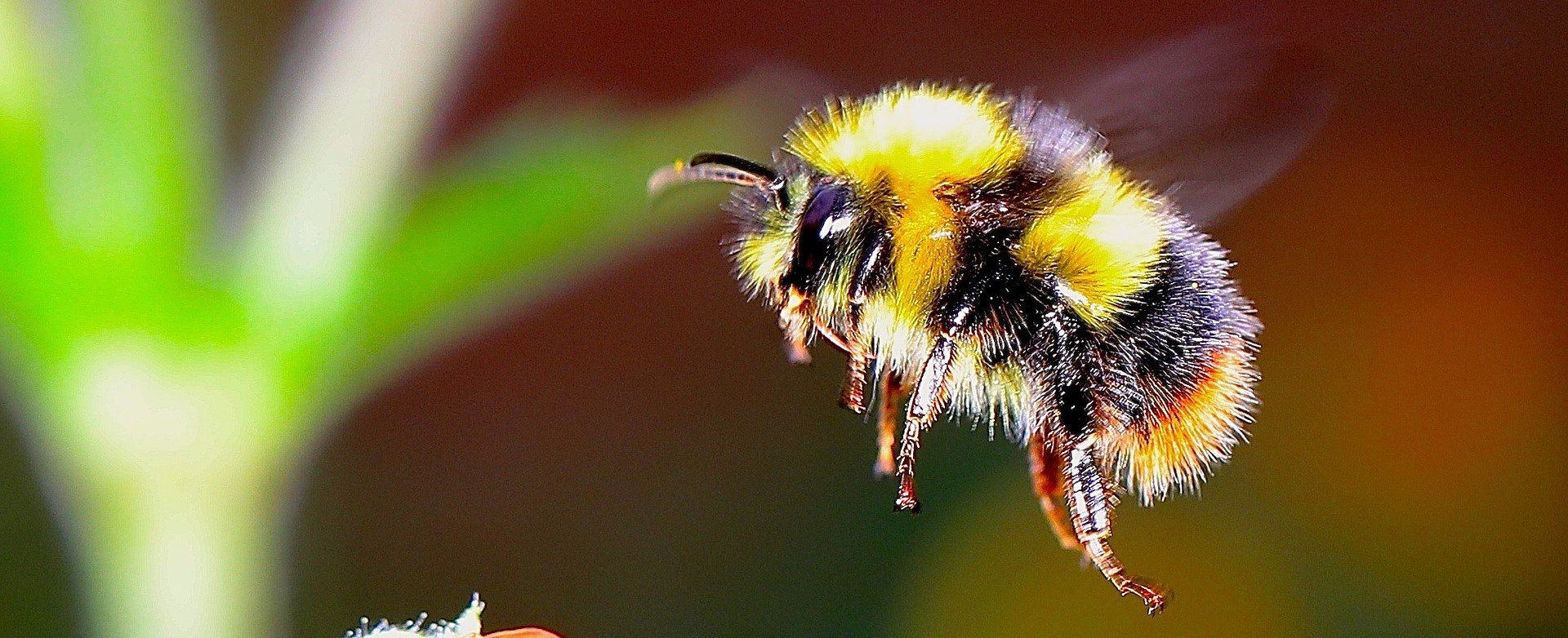 Image of flying bumble bee searching for pollen