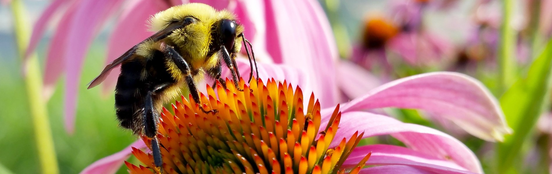 Photo of a bumble bee extracting nectar from a flowering plant