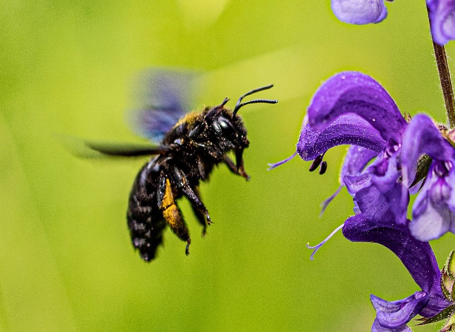 Photo of carpenter bee flying