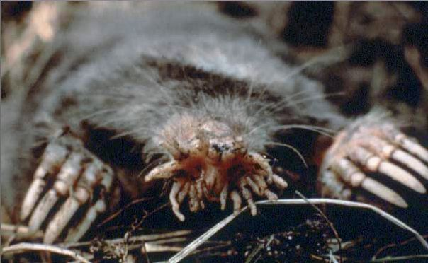Image of star nosed mole digging