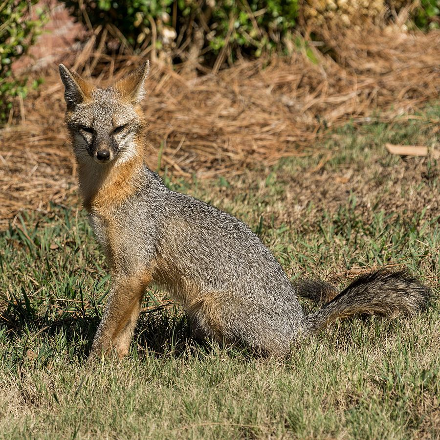 Photo of gray fox in forested area
