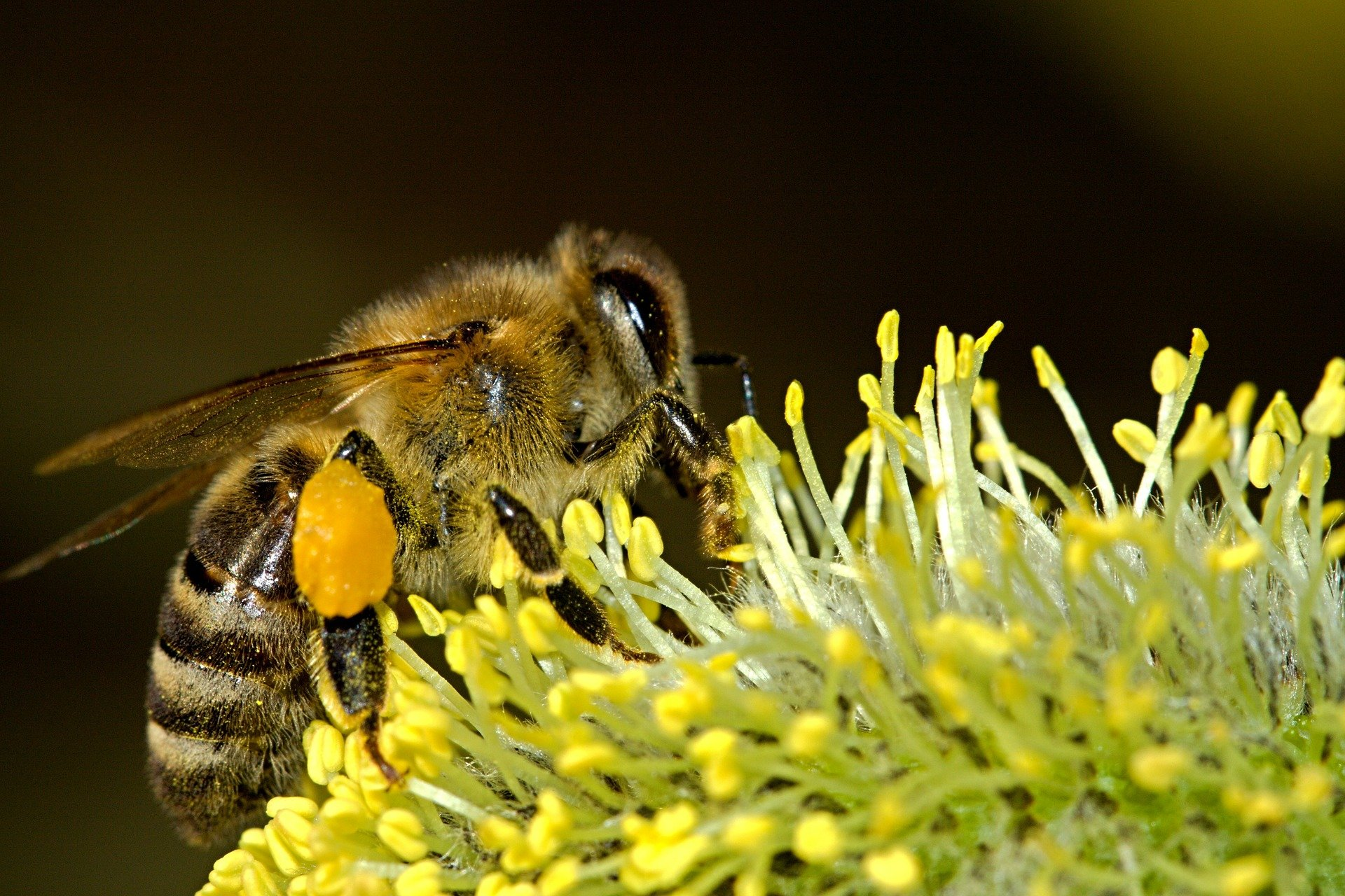 Picture of honey bee extracting nectar from flower