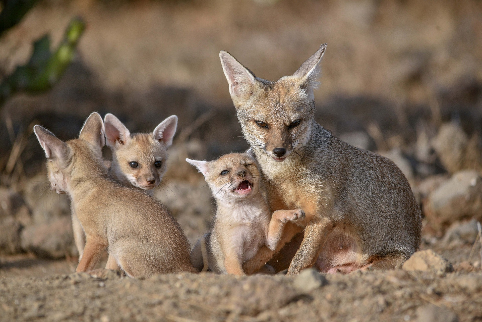Image of kit fox mother and pups