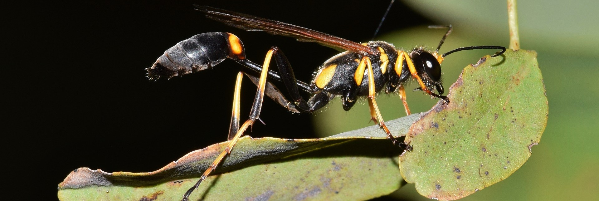Image of black and yellow mud dauber on leaf