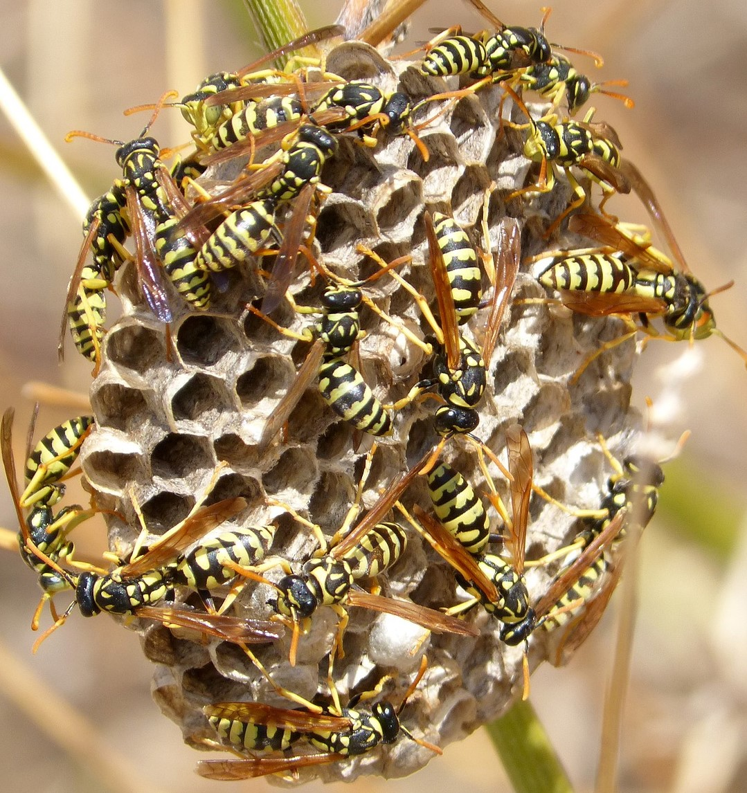 Image of paper wasp nest