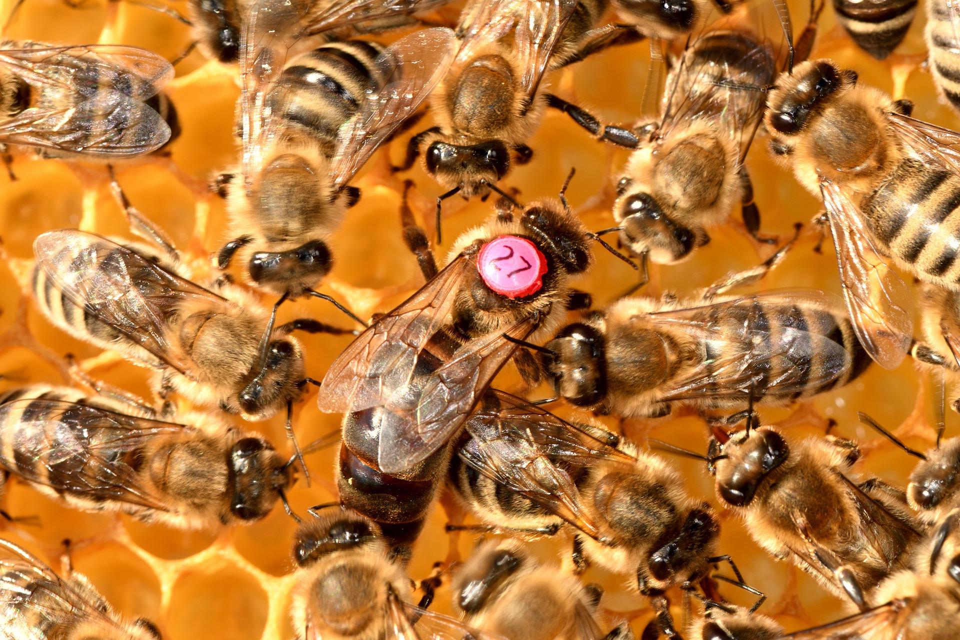 Image of a queen honey bee in her colony