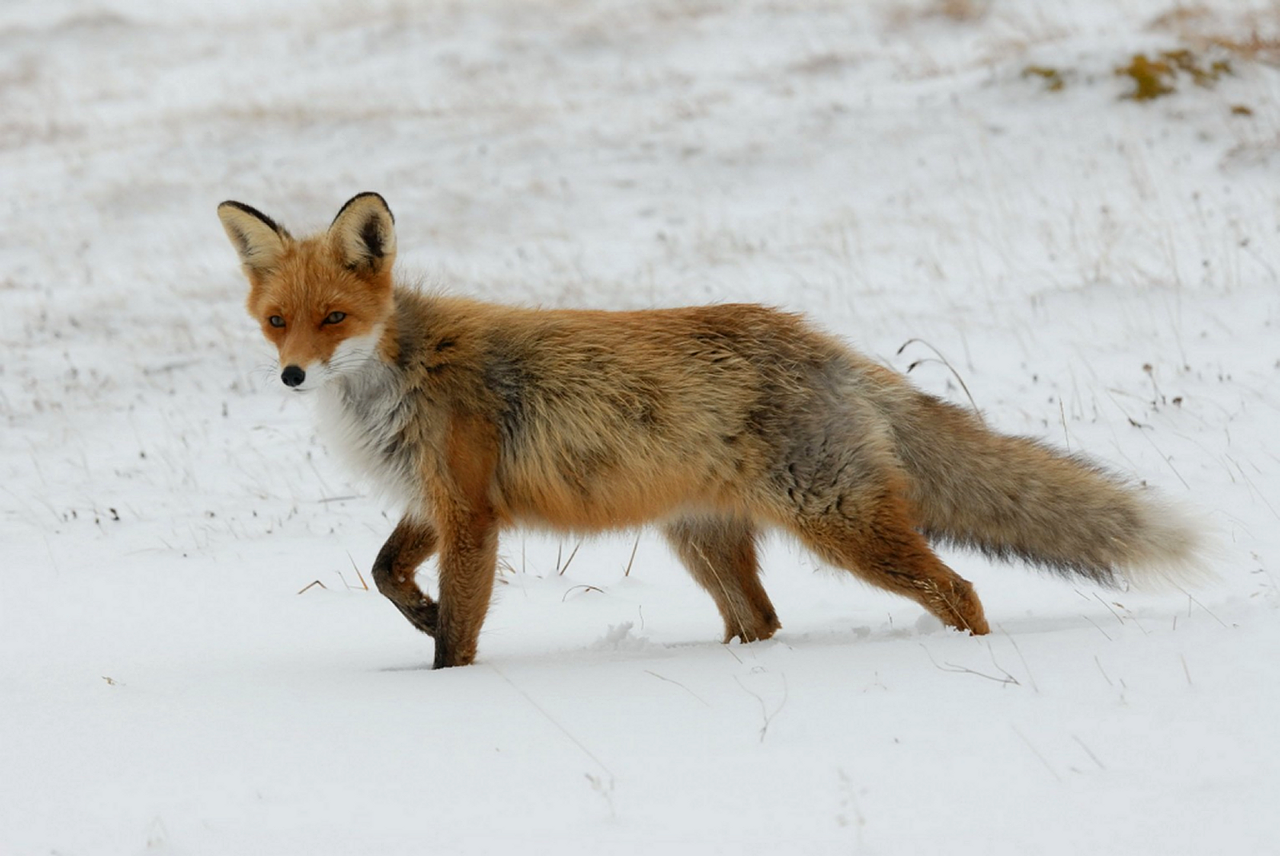 Image of red fox traveling in snow