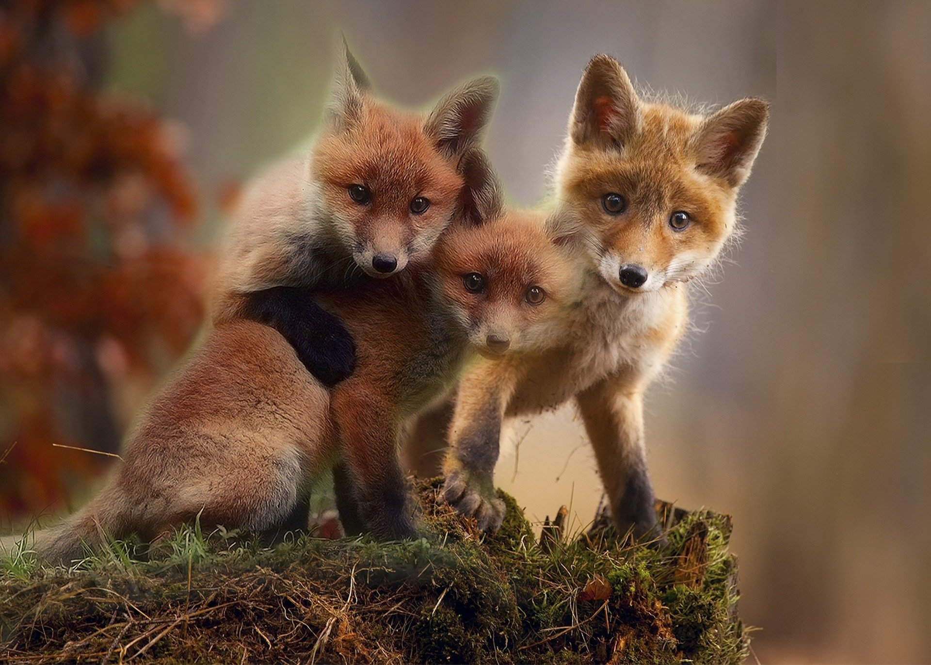 Picture of baby red foxes called kits