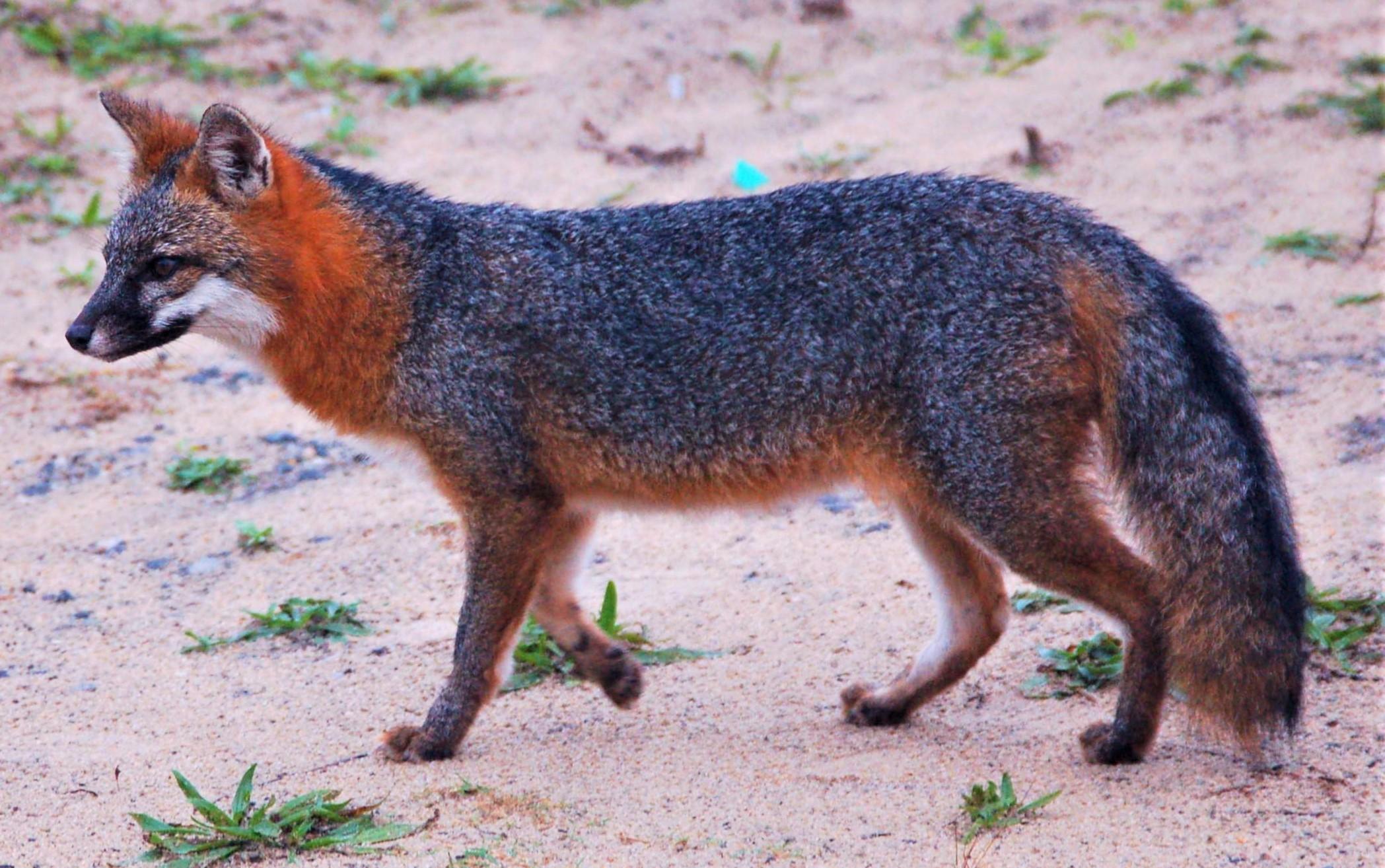 Image of gray fox walking in desert habitat