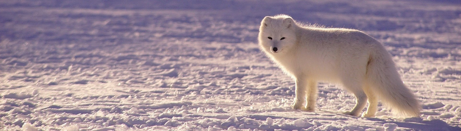 Image of arctic fox traveling in snow tundra