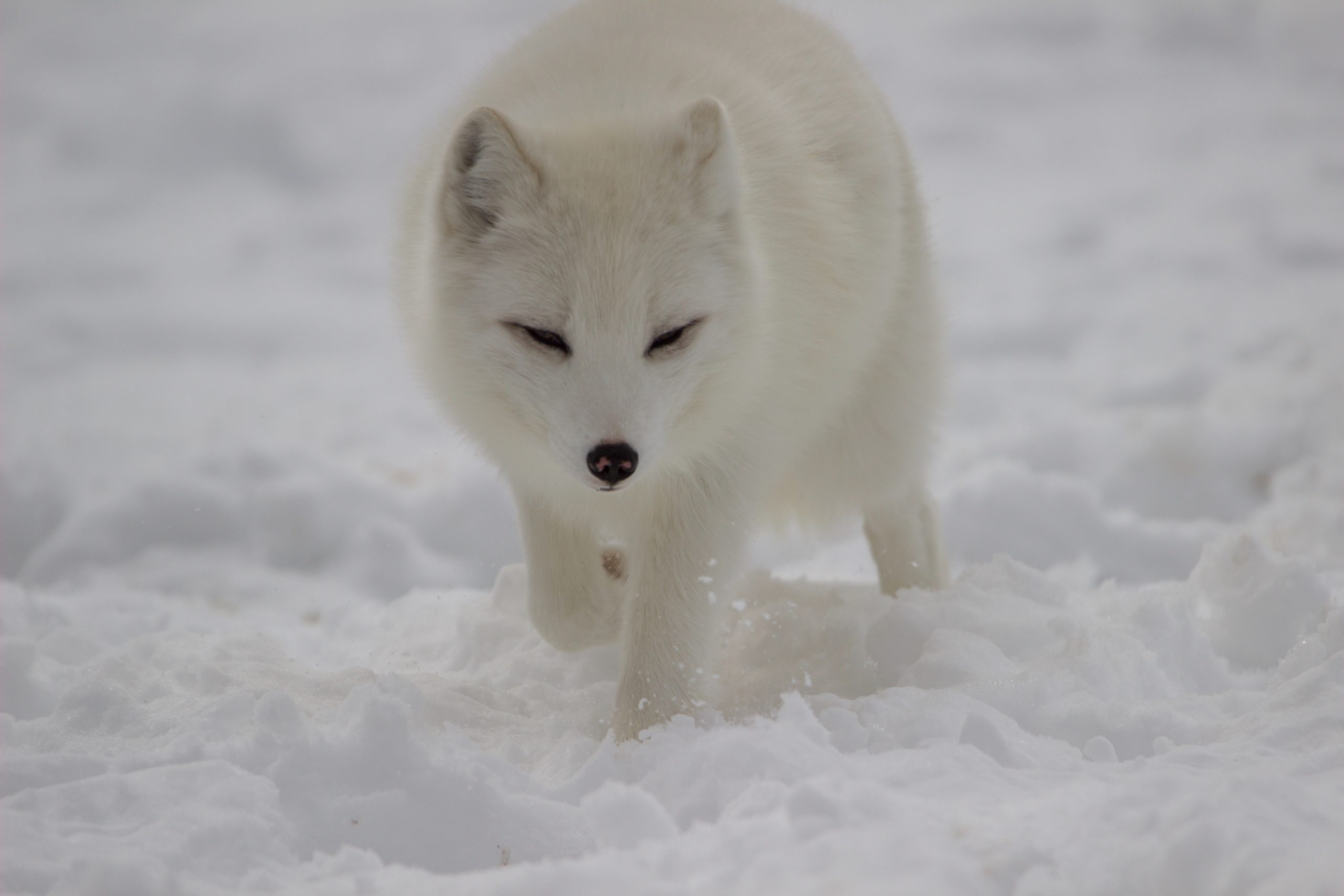 Picture of white artic fox in cold climate