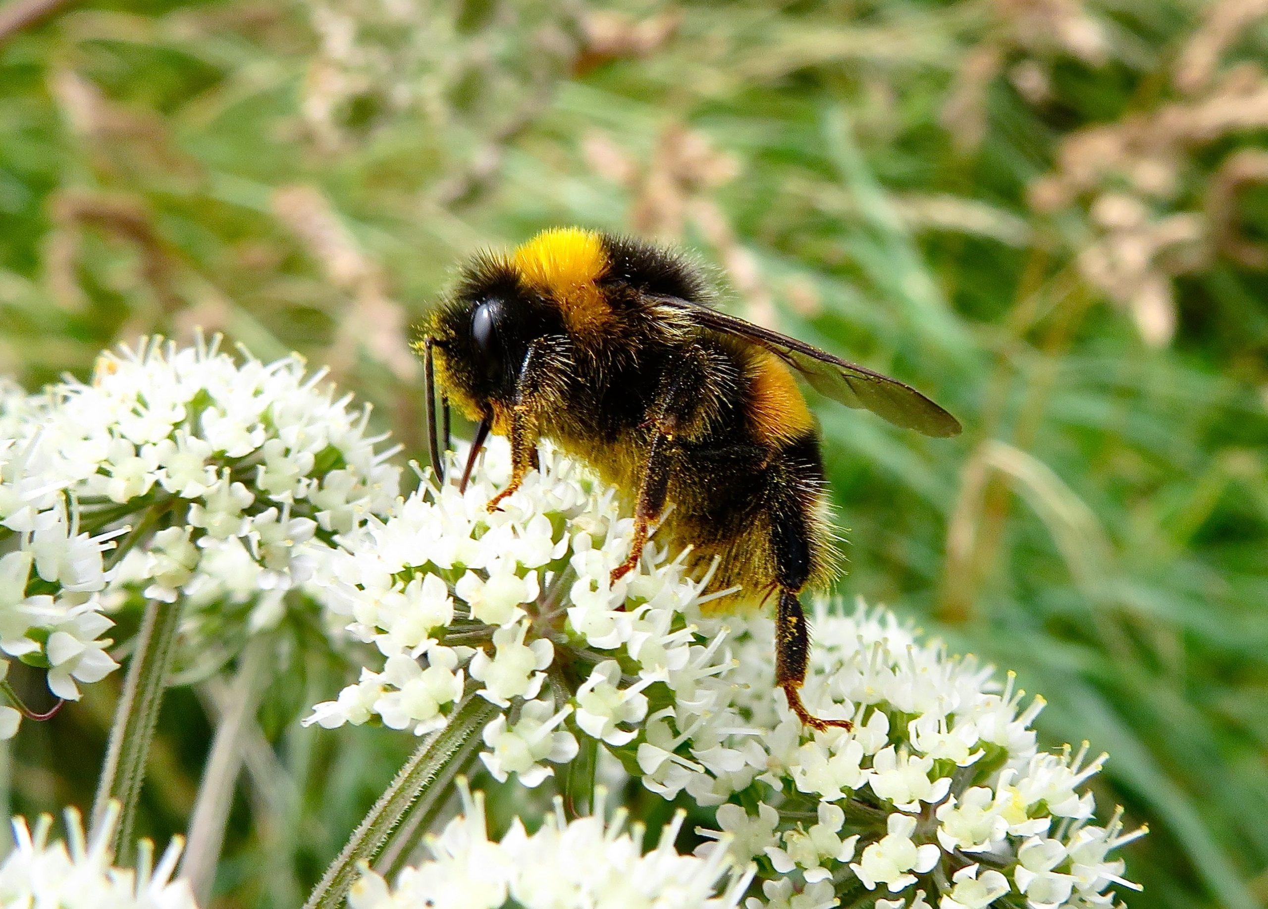 Image of bumble bee pollinating plant