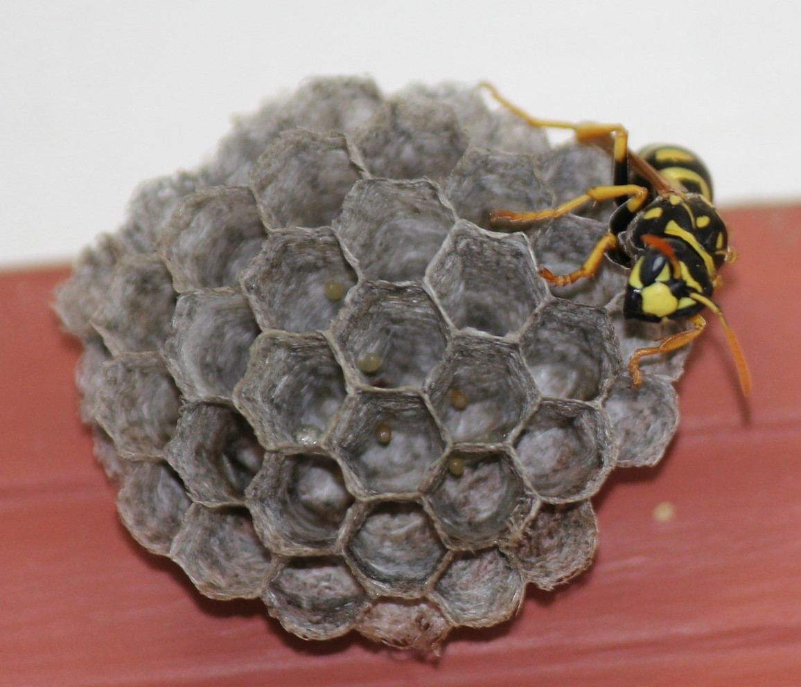 Picture of yellow jacket wasp building a nest