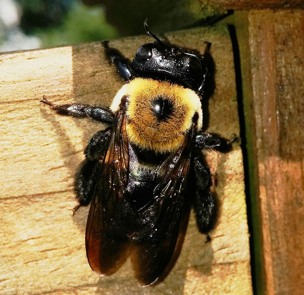 Image of carpenter bee chewing on wood