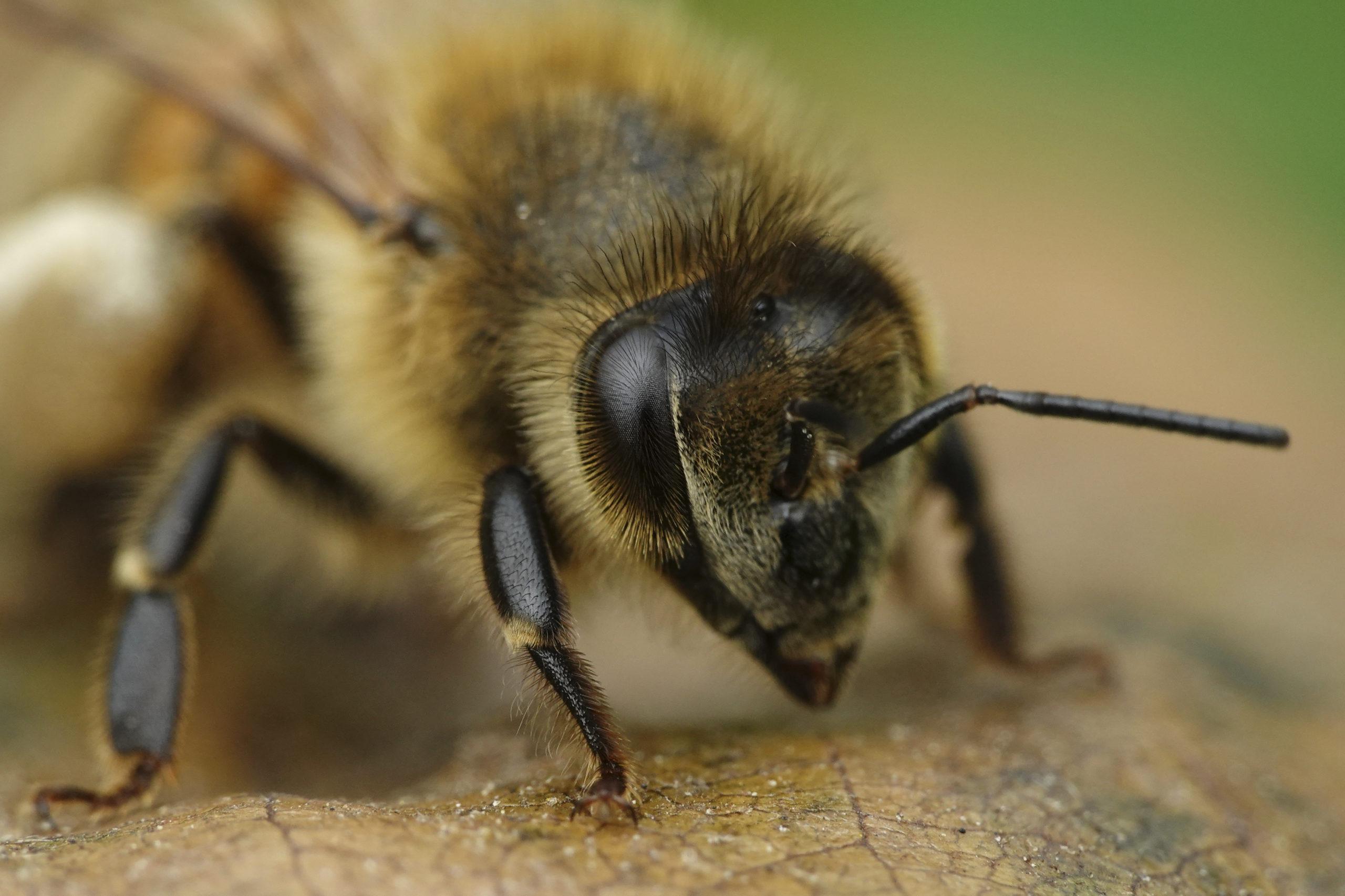 Image of a European honey bee