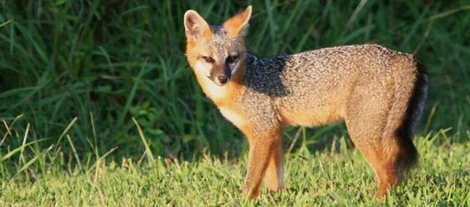Picture of gray fox