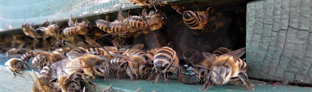 Photograph of honey bees swarming to form a new colony