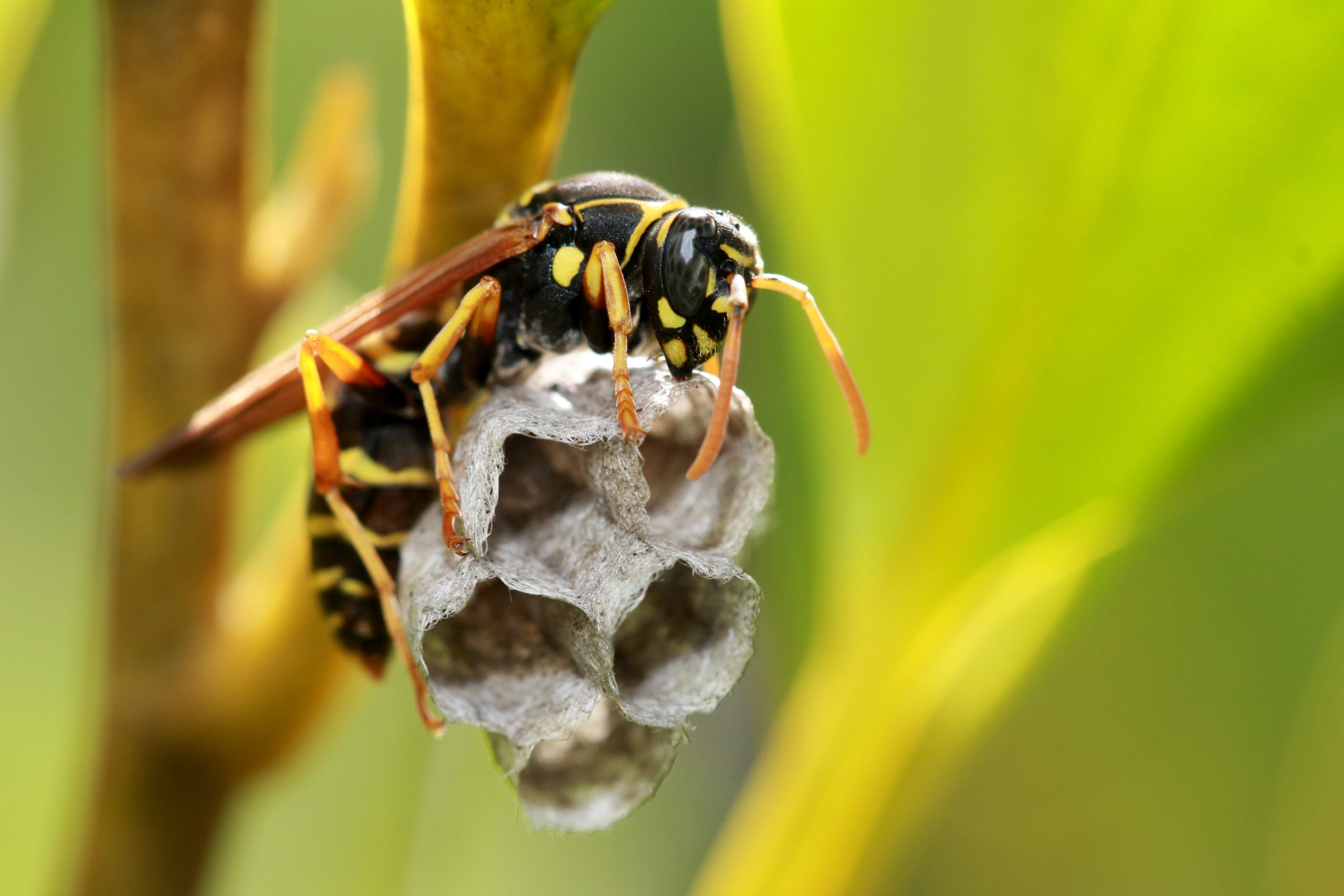 Image of paper wasp queen constructing nest