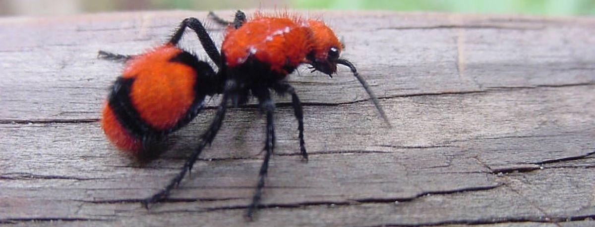Photo of red velvent ant climbing tree