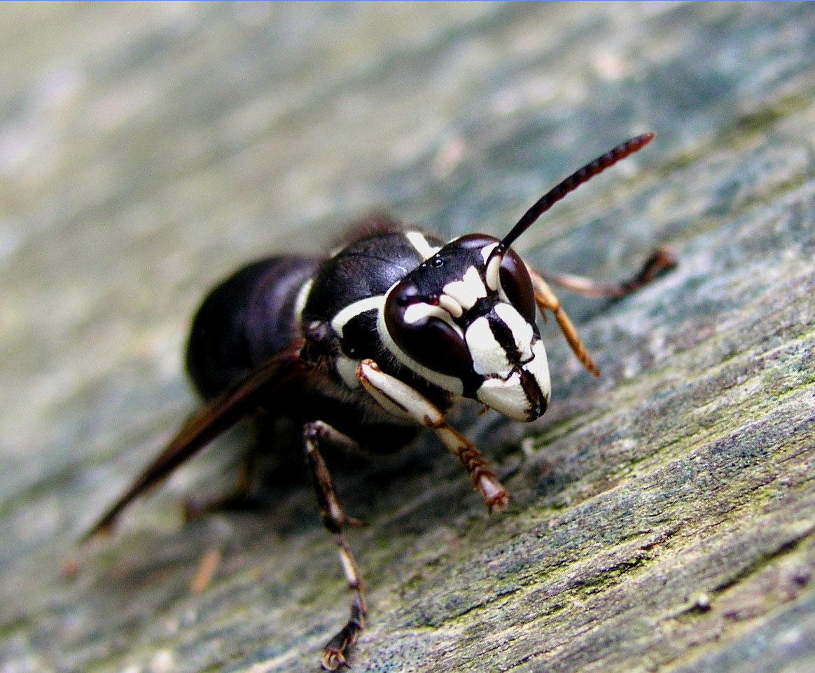Picture of bald faced hornet on tree branch