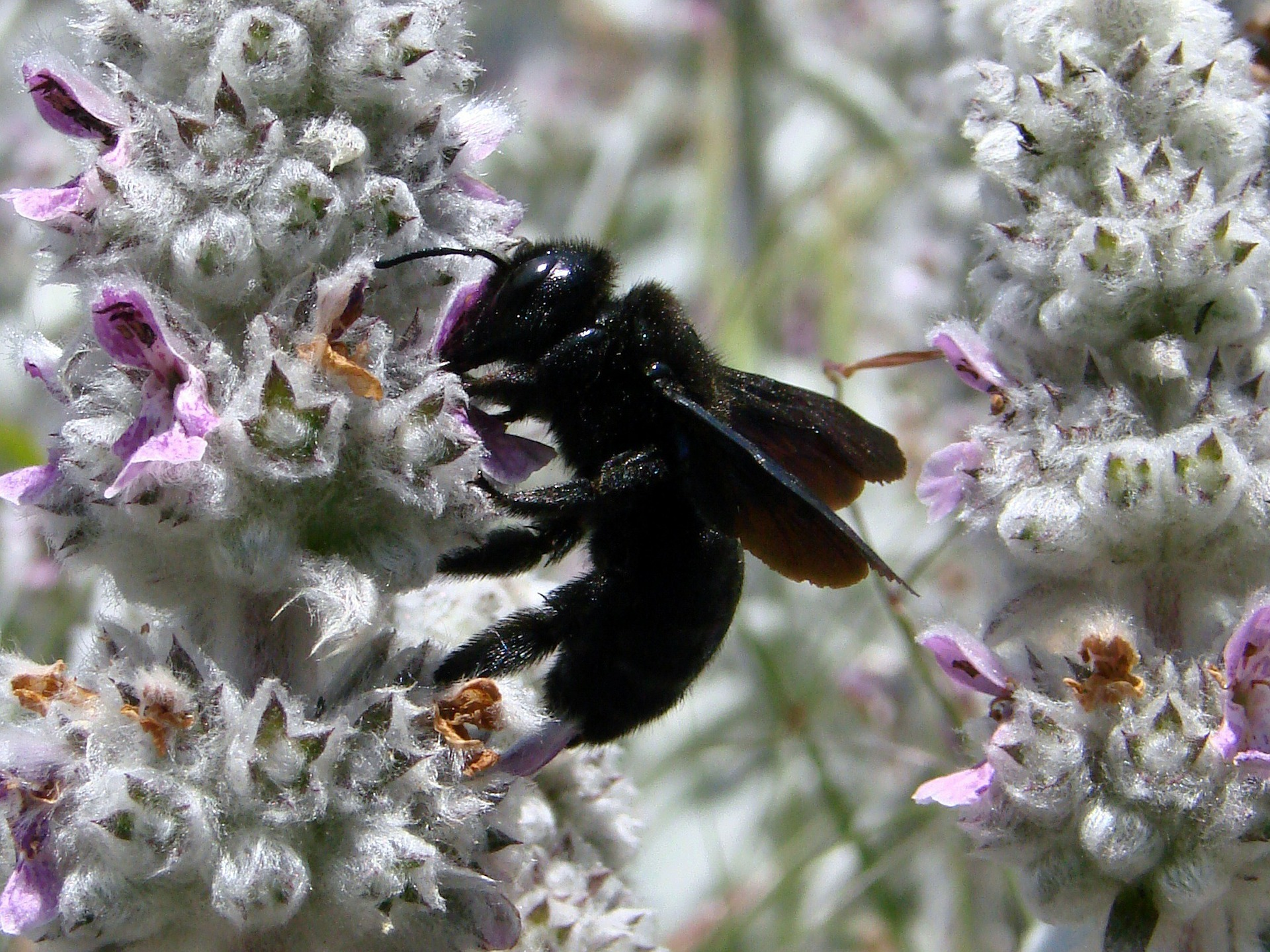 Picture of carpenter bee pollinating flower