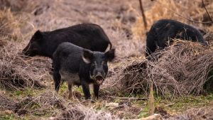 Picture of wild hogs in texas
