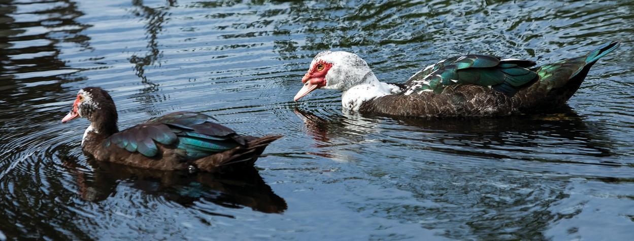 Image of Muscovy ducks swimming