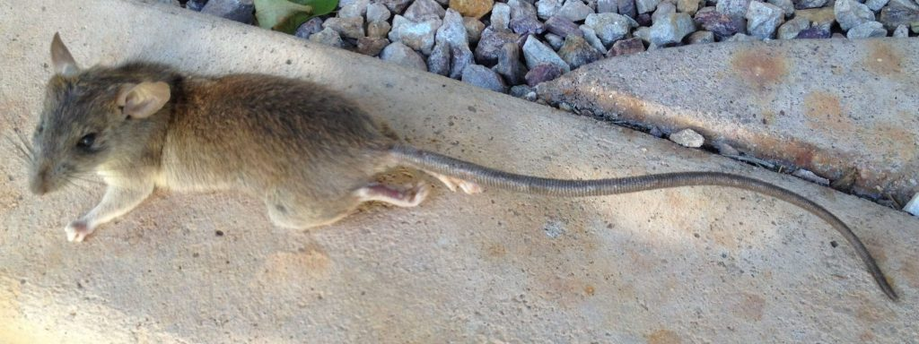 Picture of roof rat on curb