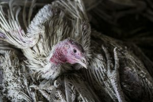 Picture of sick bird with Avian Influenza.