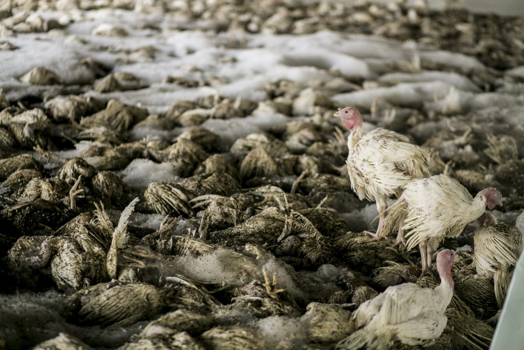 Image of chickens infected with Avian Influenza