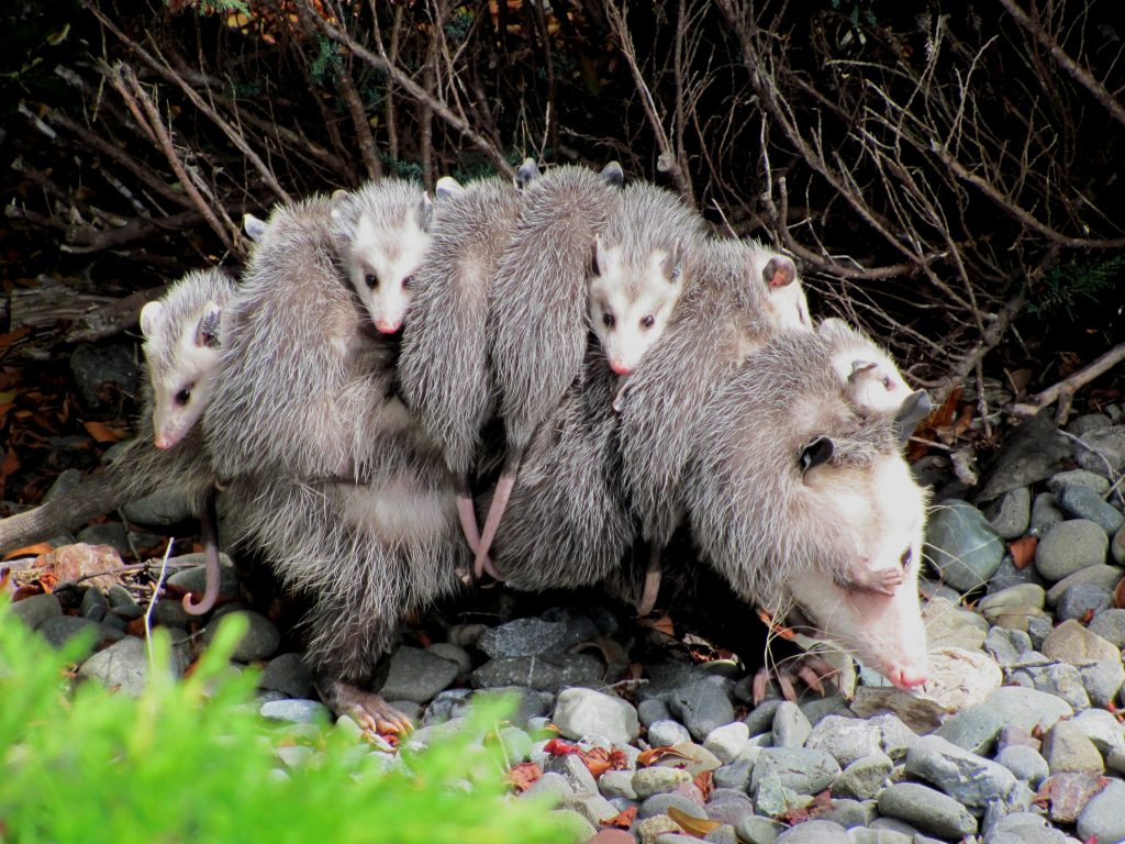Photo of opossum mother carrying young