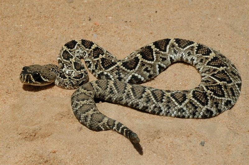 Image of eastern diamondback rattlesnake