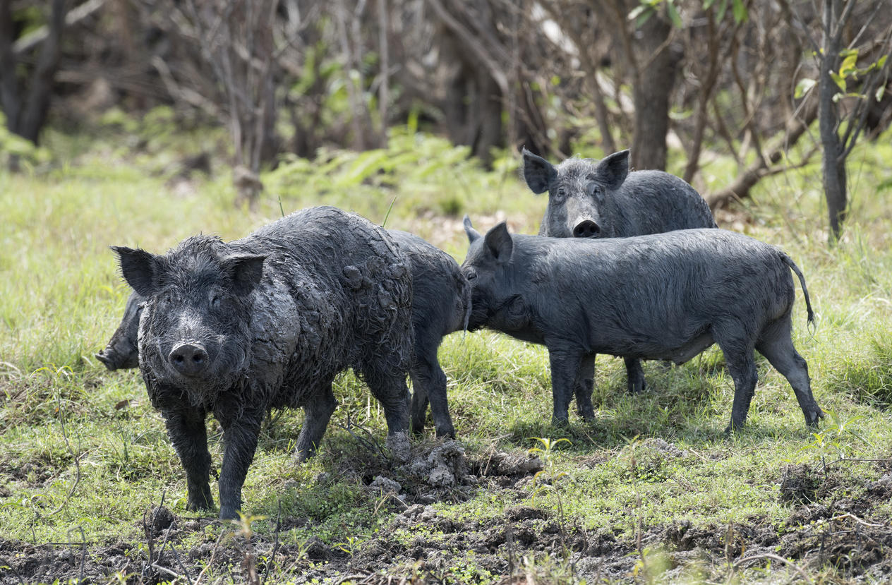 Image of a feral pig pack