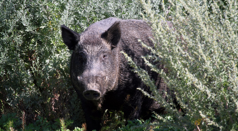 Photo of feral hog in Texas